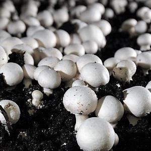 Button Mushroom Cultivation-min