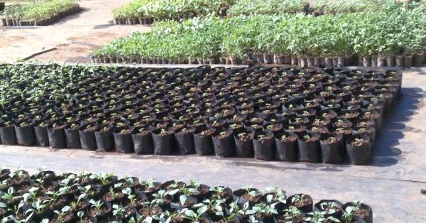 Raising-Seedlings-in-Nursery.