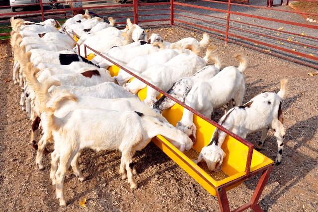 goat-feeding