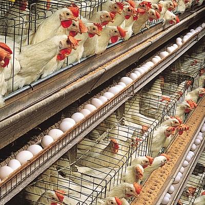 hens-egg-production-White-Leghorn-layer-house