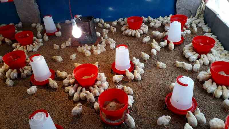 poultry-farming-in-india
